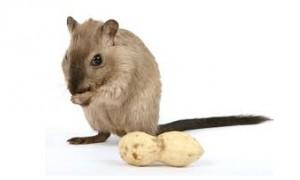 Американцы вылечили мышей от пищевой аллергии