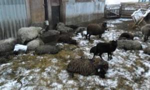 В Смоленской области сожгли больных бруцеллезом овец