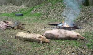 В Смоленской области обнаружен очаг классической чумы свиней
