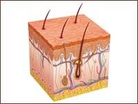 Исследователи изучили строение рогового слоя кожи на молекулярном уровне