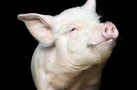 Свиной грипп убил в 15 раз больше людей, чем посчитала ВОЗ