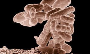 Секрет повышенной токсичности европейской кишечной палочки раскрыт