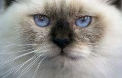 Коты более опасны для аллергиков, чем собаки