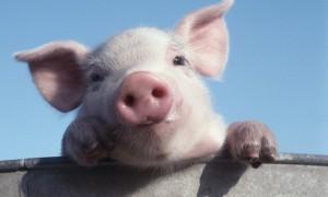 Обнаружен новый штамм свиного гриппа