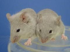 Ученые создали мышь «с нуля». На очереди человек?
