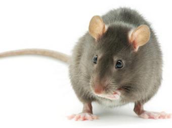 Новый метод мужской контрацепции испытали на самцах крыс