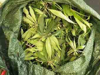 В Чехии разрешили применение медицинской марихуаны
