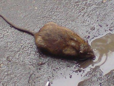 Расплодившиеся грызуны заразили смолян инфекциями