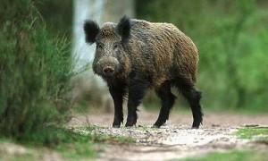 На Смоленщине впервые отмечена вспышка африканской чумы свиней