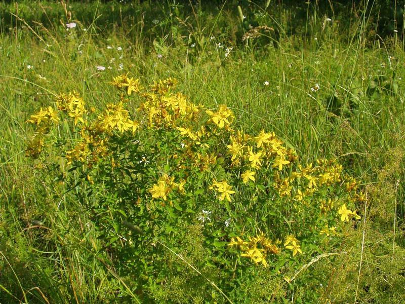 Зверобой: трава от 99 болезней