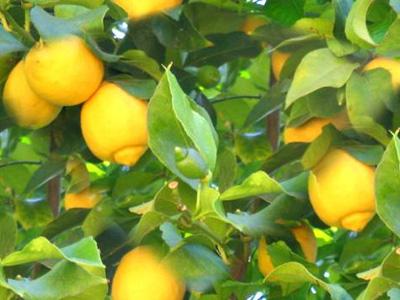 Солнечный лимон: кладезь витаминов