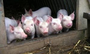 На Смоленщине обнаружена еще одна вспышка африканской чумы свиней
