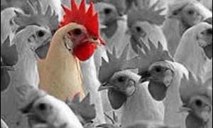 Появилась новая разновидность птичьего гриппа