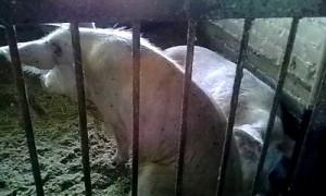 Велижский свинокомплекс подверг регион риску распространения африканской чумы