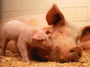Под страхом африканской чумы запретили убой свиней в отсутствие ветеринаров