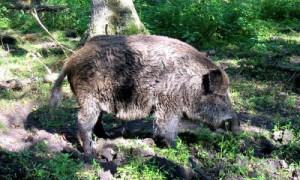 На Смоленщине зафиксировали новую вспышку африканской чумы свиней