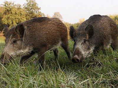 На Смоленщине обнаружили новый очаг африканской чумы свиней