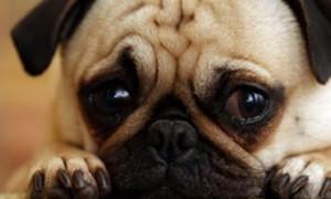 Узнать о болезни одиноких стариков помогут их загрустившие собаки