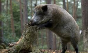 На Смоленщине выявили новый очаг африканской чумы свиней