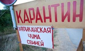 Новый очаг африканской чумы выявили в Сафоновском районе