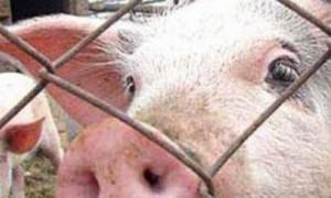 В области зафиксирована новая вспышка «свиной» чумы