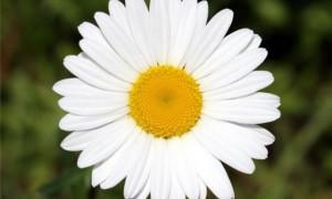 Ромашка — самый эффективный природный антисептик, уверены специалисты