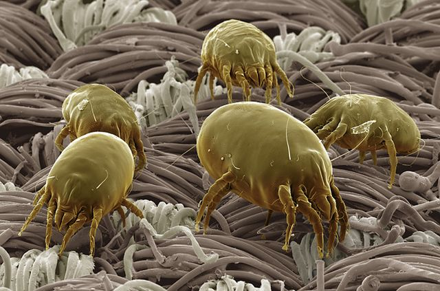 Аллергия на пылевого клеща: как помочь