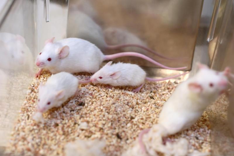 Вальпроевая кислота обладает способностью приостанавливать развитие неалкогольной жировой болезни печени