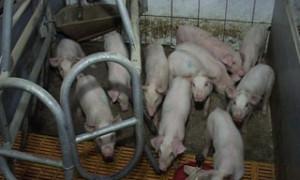 Смоленские фермеры переходят на альтернативные виды животноводства из-за АЧС