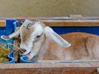 Создана генетически модифицированная коза для лечения болезни Гоше