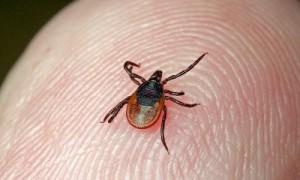 На Смоленщине появились клещи — переносчики опасной болезни