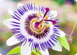 Пассифлора: цветок, усмиряющий страсти