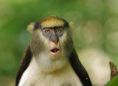 Ученые перевели язык обезьян на английский