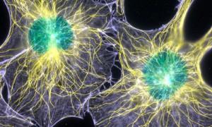 Обнаружены стволовые клетки, заживляющие переломы