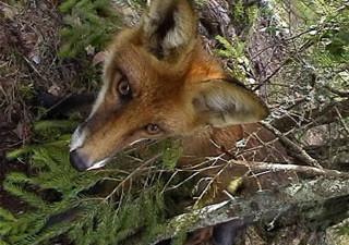 В Смоленской области от бешенства вакцинируют лис и волков