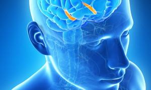 Исследование диалога между мозгом и коричневым жиром поможет развить новую терапию ожирения