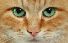 Ученые советуют расстроенным людям смотреть видео с кошками
