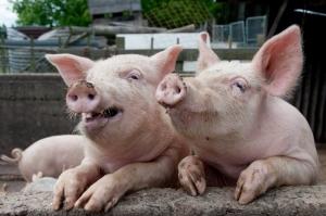 Диетологи разрешили людям с высоким давлением есть свинину