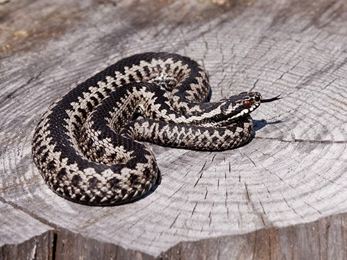 змеи пермского края с картинками удовольствием использовали этот