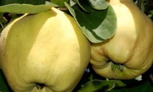 Айва избавит от покраснений на коже