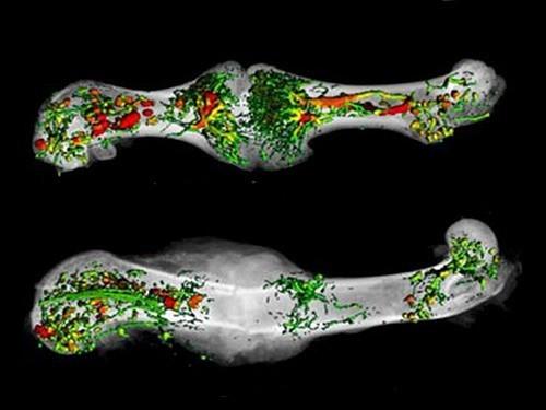 Ученые опровергли современные представления о процессе сращения сломанных костей