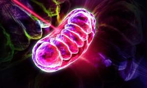Митохондрии повинны в «возрастных» болезнях