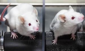 В Гарварде подтвердили антивозрастные свойства белка GDF11