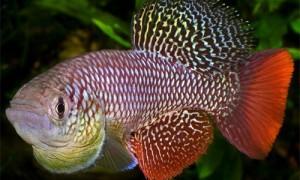 Изучение генома африканской рыбы даст ключ к пониманию контроля старения