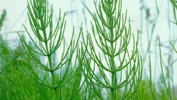Три удивительных свойства полевого хвоща