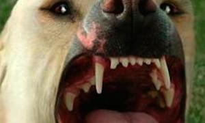 На Покровке ввели карантин по бешенству из-за больной собаки