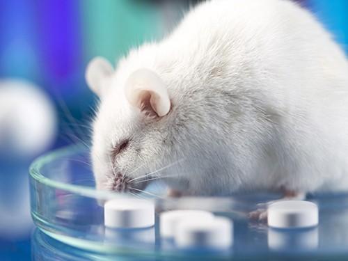 Очистив организм от постаревших клеток, ученые продлили жизнь мышей на треть