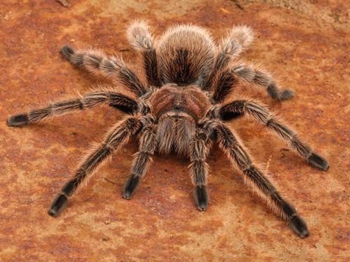 Яд тарантула может стать эффективным анальгетиком