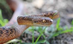 Универсальное средство от укусов змей уже испытано на грызунах