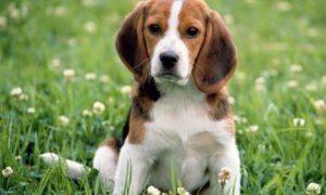 Собаки будут помогать диагностировать рак простаты